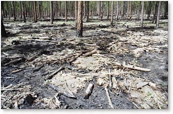 forest floor after fuelks treatment and controlled burn, showing mosaic pattern of burned areas